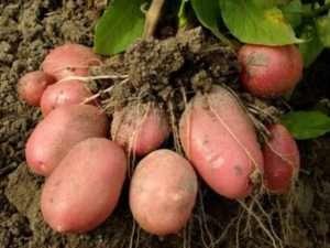 Сорт картоплі «Розара»
