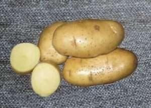 «Скарб»: нові сорти картоплі