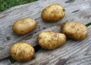 Нові сорти картоплі - «Удача»