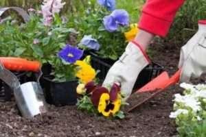 Переваги низькорослих квітів квітучих все літо