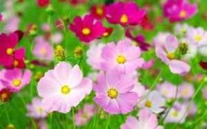 однорічні невибагливі квіти для дачі фото з назвами каталог
