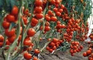 Як вирощувати та доглядати сорт помідорів Благовіст