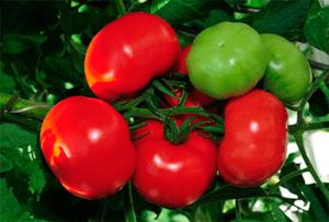 як поливати томати сорту благовіст