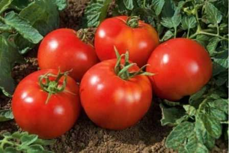 Помідор сорту Благовіст: агротехніка вирощування та характеристика томатів з фото