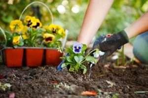 Посів літніх квітів у травні в грунт і висадка розсади