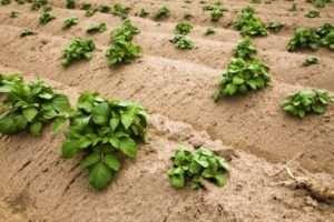 Для отримання хорошого врожаю картоплю потрібно підгортати