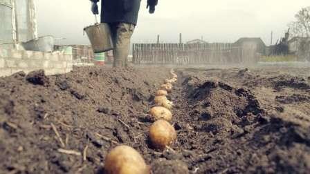 Як та коли правильно садити картоплю, щоб отримати хороший урожай - Способи посадки картоплі