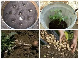 Підготовчі роботи перед посадкою картоплі.