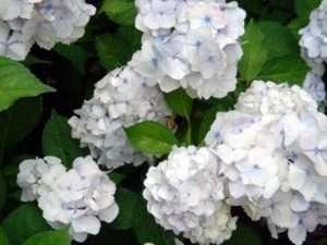 Цвітіння гортезії