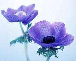Квітка Анемона – вирощування і посадка, фото анемони, догляд за анемоною і види: анемона корончата, махрова