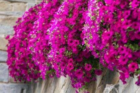 Квітка Лобелія: вирощування у відкритому грунті, догляд правила поливу та розмноження з фото