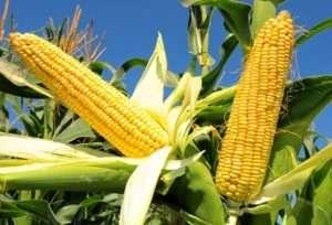 Умови для вирощування кукурудзи