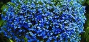 Основні принципи догляду за квіткою Любелія