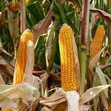 Особливосты вирощування кукурудзи