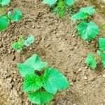 Посадка огірків насінням у відкритий ґрунт в 2021 році в Україні