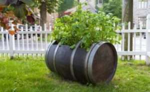 Особливості вирощування картоплі в бочках