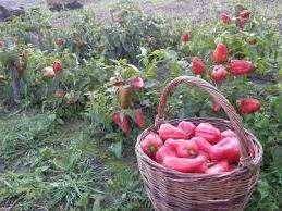 З чого почати вирощування перців