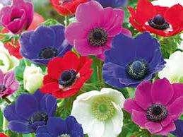 Квітка Анемона – вирощування та посадка з фото: догляд за анемоною та її види
