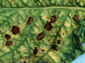 Оливкова плямистість