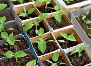 Як виростити розсаду перцю