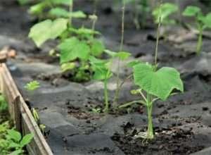Кращі сорти огірків для відкритого грунту