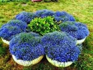 Садимо лобелію ампельну у відкритий ґрунт