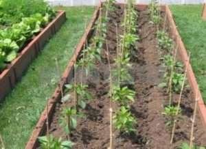 Посів перцю у відкритий ґрунт