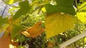 Чому жовтіють нижні листки огірків?