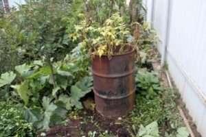 Вирощування картоплі в бочці