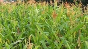 Особливості догляду кукурудзи
