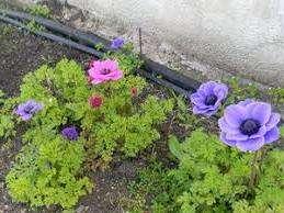 Цвітіння анемонів