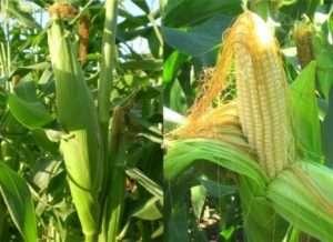 Посадка кукурудзи на відкритому грунті