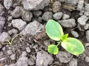 Що робити, якщо жовтіє листя огірків у відкритому грунті