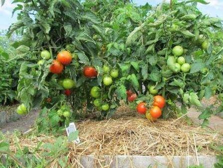 Голландське насіння помідорів: вирощування та посадка томатів голландських сортів у відкритий грунт