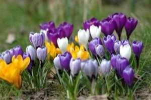 Крокуси - чудові невибагливі багаторічні квіти