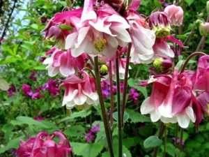 Аквілегія - яскрава багаторічна квітка