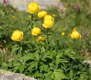 Невибагливі багаторічні квіти:Купальниця