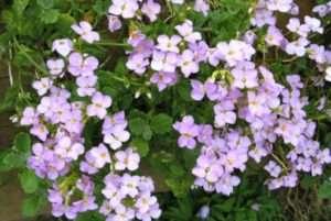 Арабіс - чудове доповнення квітника