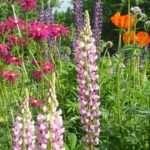 Огляд самих невибагливих довгоквітучих багаторічників для дачі та саду