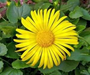 Яскраві багаторічні квіти доронікума