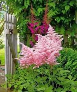Астильба - прикраса для кожного саду