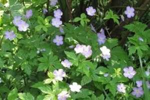 Найчастіше вирошувані багаторічні квіти - герань