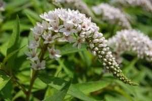 Вербейник - висока багаторічна квітка