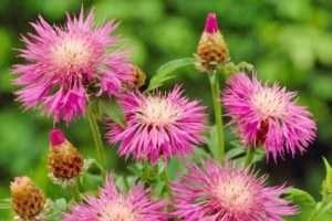 Волошки - багаторічні квіти