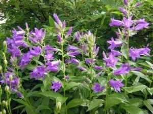 Дзвіночки - ідеальні багаторічні квіти