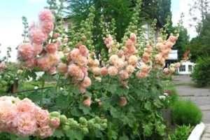 Шток-троянда (мальва)