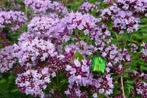 Душиця- багаторічна лікарська рослина