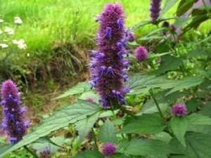 Багаторічні квіти лофанту