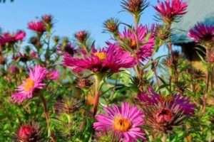 Багаторічні айстри - візитна картка осіннього саду