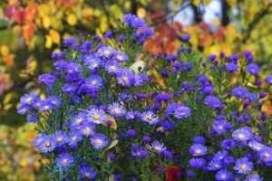 айстри - багаторічні квіти